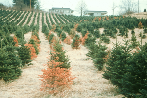 Cover photo for Fraser Fir Site Selection