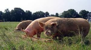 Cover photo for Pasture Pork Info