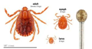 Cover photo for Madison County Reports Asian Longhorned Tick